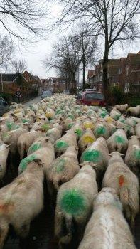 Nieuwjaarswandeling schapen