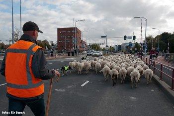 Schaapskudde door Middelburg