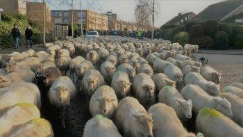 Nieuwjaarswandeling met de schapen.