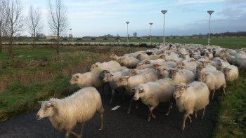Nieuwjaarswandeling met 400 schapen