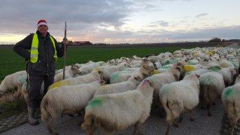 Nieuwjaarswandeling met de schapen naar de stal.